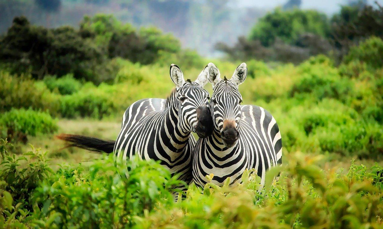 kenya, africa, zebras